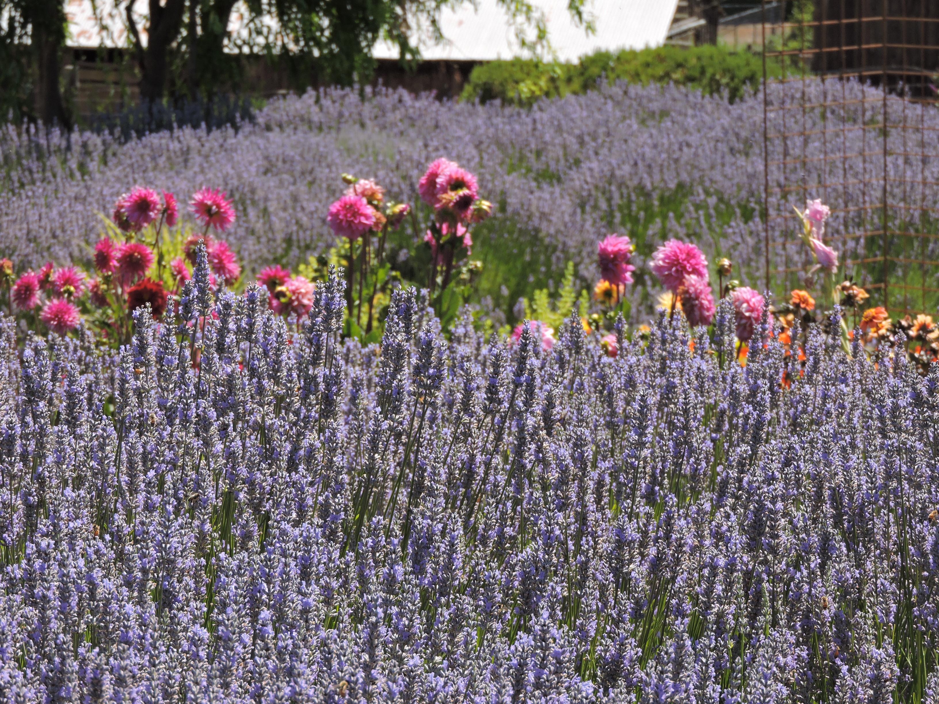 Home - Lavender Bee Farm